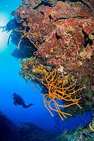 scuba diver, exploring coral reef, Gardens of the Queen, Jardines de la Reina, Jardines de la Reina National Park, Cuba, Caribbean Sea, Atlantic Ocean