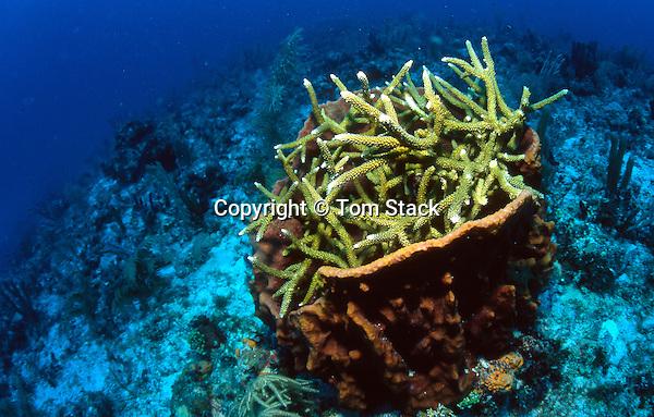 Staghorn Coral in Barrel Sponge, Biscayne National Park, Florida