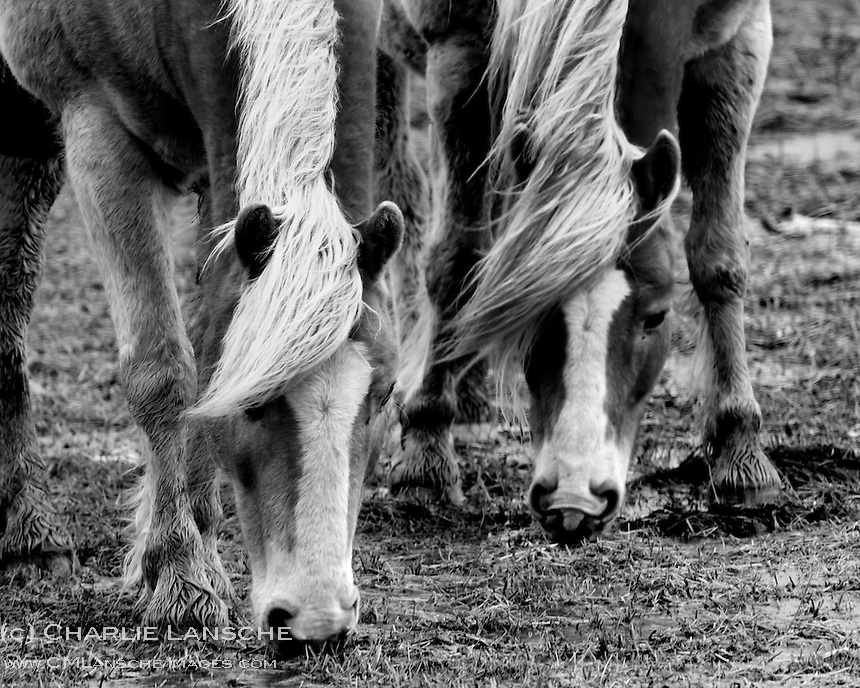 Quarter horses drink water from flooded pasture on a windy spring morning. Summit County, Utah.