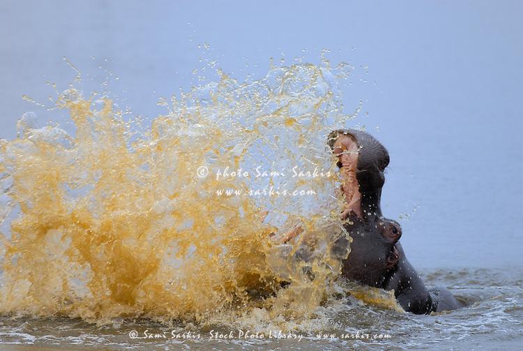 Hippo splashing water (Hippopotamus amphibius), Kruger National Park, South Africa