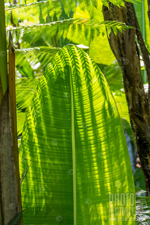 A fern's shadow falls on a large green leaf at Hawaii Tropical Botanical Garden near Onomea Bay in Papa'ikou near Hilo, Big Island of Hawai'i.