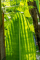 Shadows from a fern cast light on a large green leaf at Hawaii Tropical Botanical Garden near Onomea Bay in Papa'ikou near Hilo, Big Island of Hawai'i.