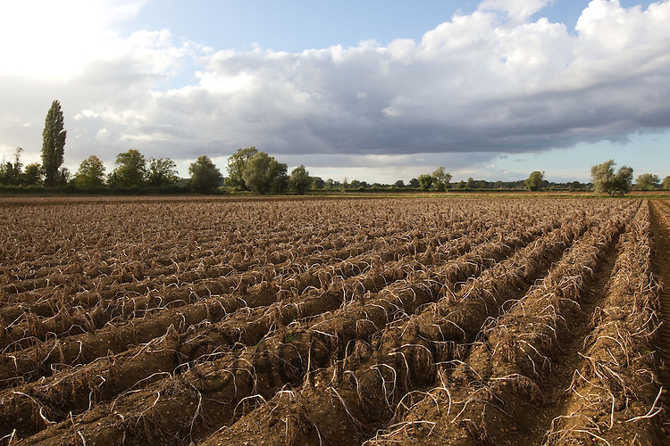 Desiccated potato crop in Lincolnshire.Picture by Tim Scrivener date taken 3rd October 2012.mobile 07850 303986 e-mail tim@agriphoto.com.....covering agriculture in The United Kingdom.....