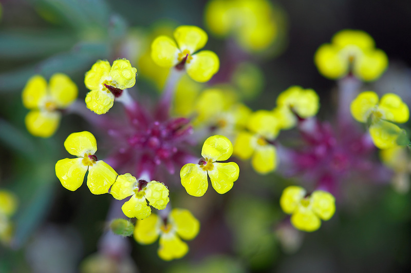 Unidentified yellow flower.. Bear Valley, California