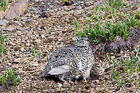 White-tailed Ptarmigan (Lagopus leucurus)hen keeping her brood (most of her chicks are already under her feathers) warm on a cool day in an alpine meadow.  Mount Rainier National Park, WA.  Summer.