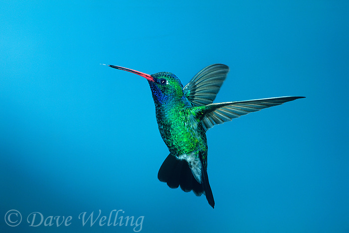 549801013 a wild male broad-billed hummingbird cynanthus latrostis hovers against a blue sky in ramsey canyon in southeast arizona