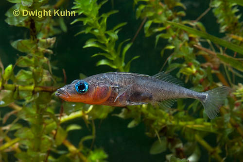1S12-727z   Male Threespine Stickleback,  Mating colors showing bright red belly and blue eyes,  Gasterosteus aculeatus,  Hotel Lake British Columbia