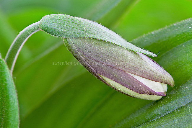 A White Lady's Slipper bud rests on a leaf in early Spring.