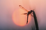 dragonfly at dawn