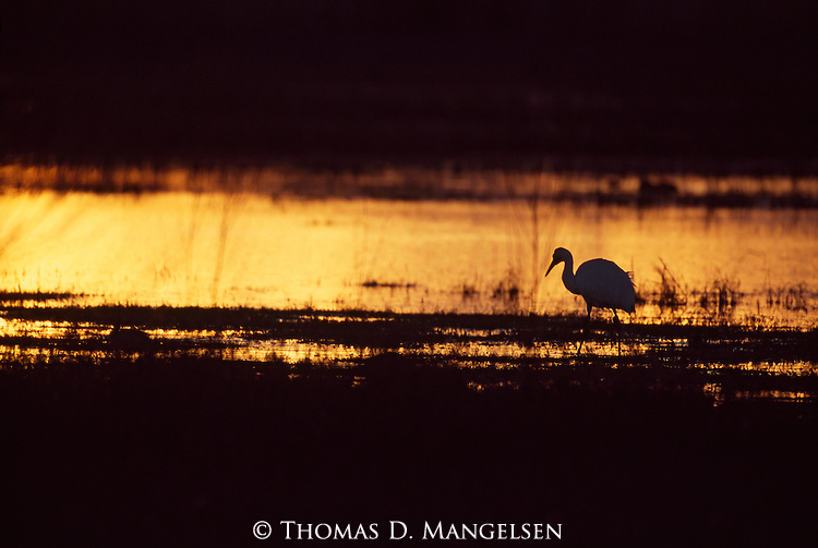 Silhouette of whooping crane at sunset in Bosque del Apache National Wildlife Refuge, New Mexico