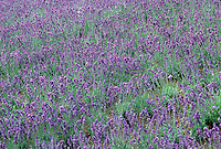 Stock Photos of Lavender (Lavandula) Hertbs