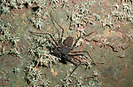Whip Scorpion, Uropygi, Belize, hunting at night on wall, Central America