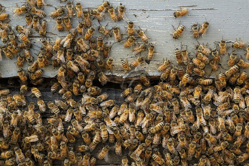 Bees characteristic of the apis mellifera ligustica, the Italian race, at the entrance to the hive. The first bees of the apis mellifera mellifera genus, the black bee, arrived from Ireland on Captain Wallis' sailing ship the Isabella in 1822. They adapted very well to the country and within a few years colonized all the forests. The beekeepers started to import the more productive bees of the Italian strain at the start of the 20th century.///Les abeilles caractéristiques de l'apis mellifera ligustica, l'abeille de race italienne à l'entrée de la ruche. Les premières abeilles de race apis mellifera mellifera, l'abeille noire, sont arrivées d'Irlande sur le voilier Isabella du capitaine Wallis en 1822. Elles se sont très bien adaptées au pays et en quelques années ont colonisé toutes les forêts. Les apiculteurs ont commencé à importer des abeilles de souches italiennes plus productives dès le début du XXesiècle.