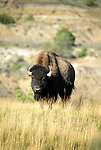 Bison at Theodore Roosevelt National Park, ND.