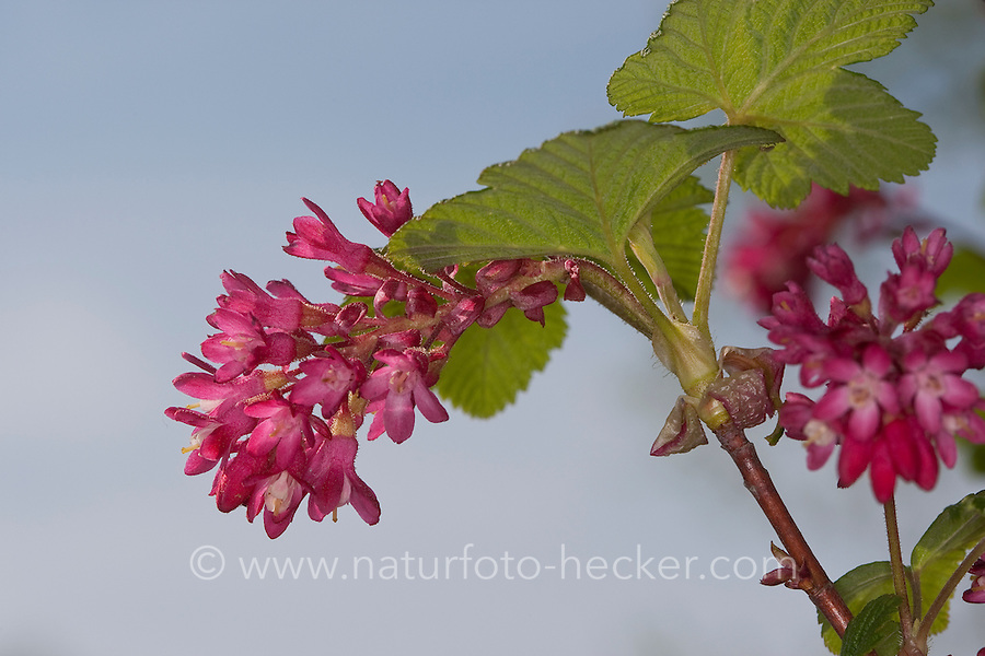 Blut-Johannisbeere, Blut - Johannisbeere, Blutjohannisbeere, Ribes sanguineum, Flowering Currant, red-flowering currant