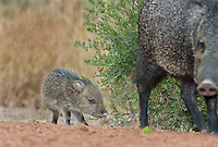 650520171 a baby javelina or collared peccary dicolytes tajacu on beto gutierrez ranch hidalgo county texas united states