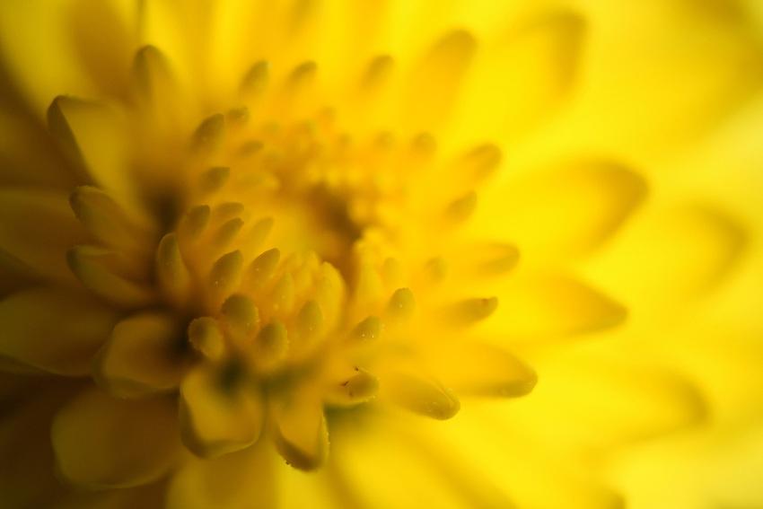 Semi-abstract of a single small yellow mum using indirect side lighting..
