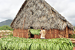 Tobacco farmers carrying rack of freshly harvested tobacco leaves into a barn for drying -- Vinales, Cuba