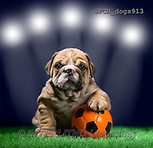 Xavier, ANIMALS, REALISTISCHE TIERE, ANIMALES REALISTICOS, dogs, photos+++++,SPCHDOGS913,#A#