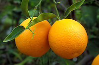 orange, close-up, orange tree, Phoenix, AZ, Arizona, Oranges hang from a orange tree in Phoenix.