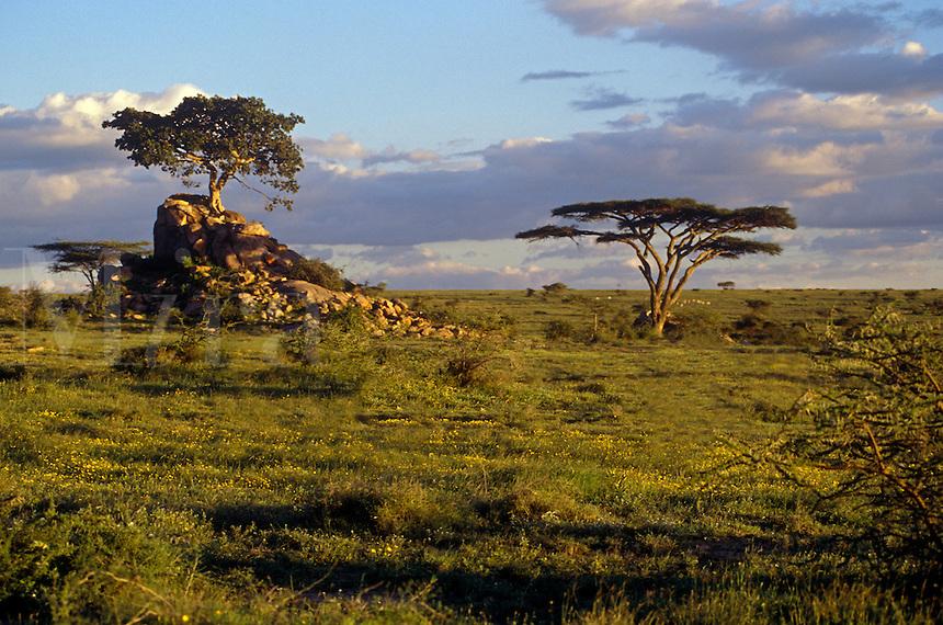 Short grass plain with kopjes and acacia trees in the  SERENGETI PLAINS NATIONAL PARK near LOLIANDO CAMP - TANZANIA
