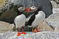 Two Atlantic Puffins Beak To Beak  #P25