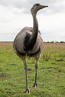 Nandu, Rhea americana, greater rhea