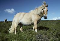 Dartmoor Pony - Equus ferus caballus