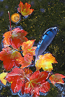 Red maple leaves, an acorn, blue jay feather, float on top of a shallow creek in fall making an unusual still life