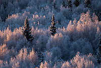 Hoarfrost coats spruce, poplar, and birch trees in Fairbanks, Alaska.