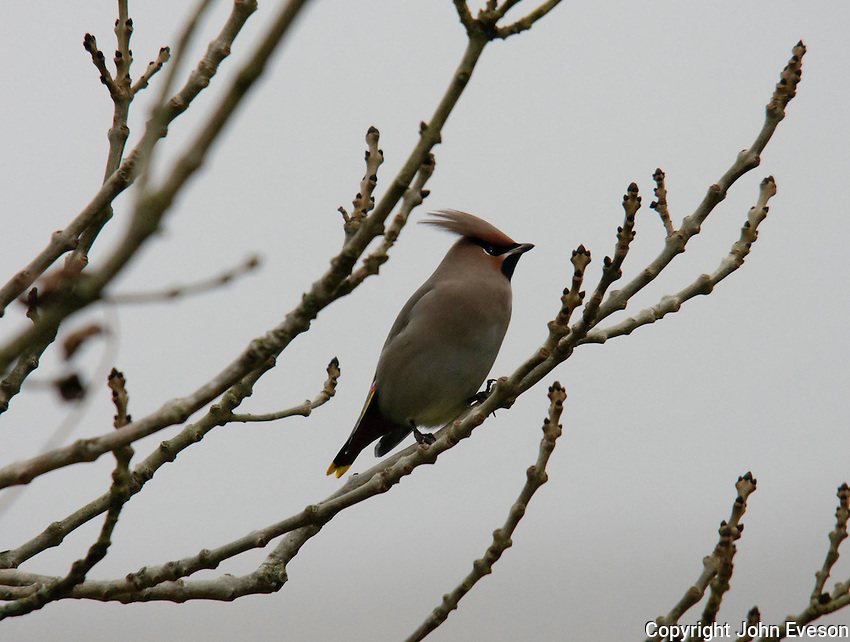 Waxwing, Whitewell, Lancashire.