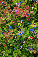 Maine Blueberry Bush  #N10