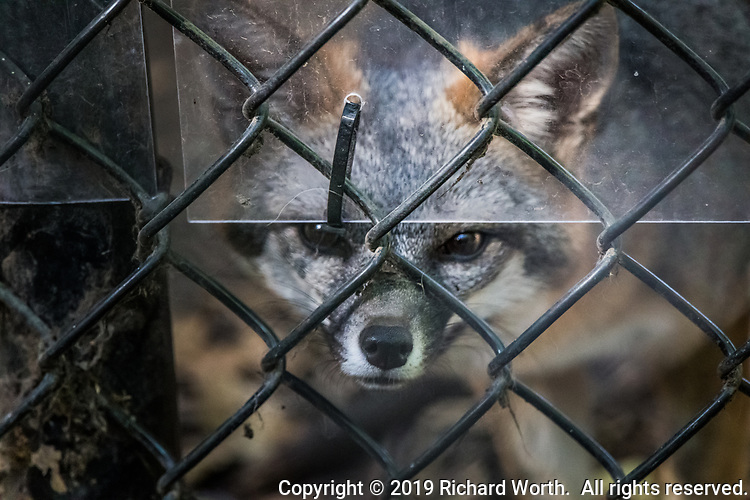 A grey fox peers through the fence and protective plastic at the Sulphur Creek Nature Center where it is under care.