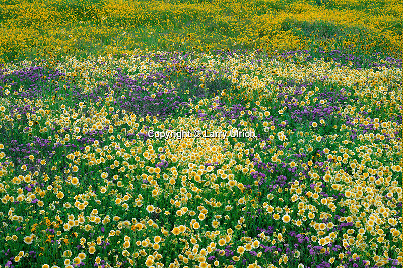 Munz' tidy-tips, chinese lantern phacelia and goldfields <br />