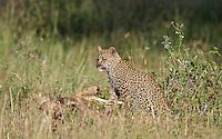 Leopard (Panthera pardus) cub