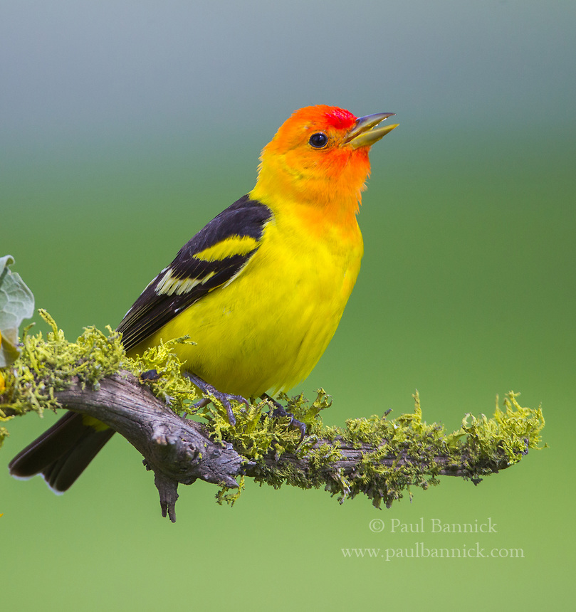 A male Western Tanager sings from a lichen covered branch.