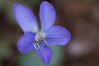 Common Blue Violet growing wild in the Ozark National Forest in Arkansas.
