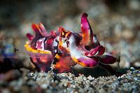 Flamboyant Cuttlefish (Metasepia pfefferi) in Lembeh Strait