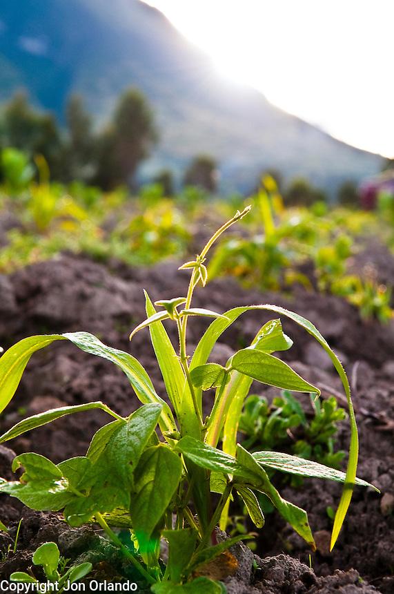 A young bean plant grows in a field near The Pakarinka Sisari Ancestral Wisdom Center outside Otavalo, Ecuador.