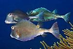 Lactophrys trigonus, Buffalo trunkfish, Roatan