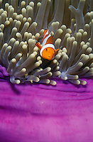 lq8481. False Clown Anemonefish (Amphiprion ocellaris) peeks out of sea anemone's tentacles. Indonesia, Pacific Ocean..Photo Copyright © Brandon Cole. All rights reserved worldwide.  www.brandoncole.com..This photo is NOT free. It is NOT in the public domain. This photo is a Copyrighted Work, registered with the US Copyright Office. .Rights to reproduction of photograph granted only upon payment in full of agreed upon licensing fee. Any use of this photo prior to such payment is an infringement of copyright and punishable by fines up to  $150,000 USD...Brandon Cole.MARINE PHOTOGRAPHY.http://www.brandoncole.com.email: brandoncole@msn.com.4917 N. Boeing Rd..Spokane Valley, WA  99206  USA.tel: 509-535-3489