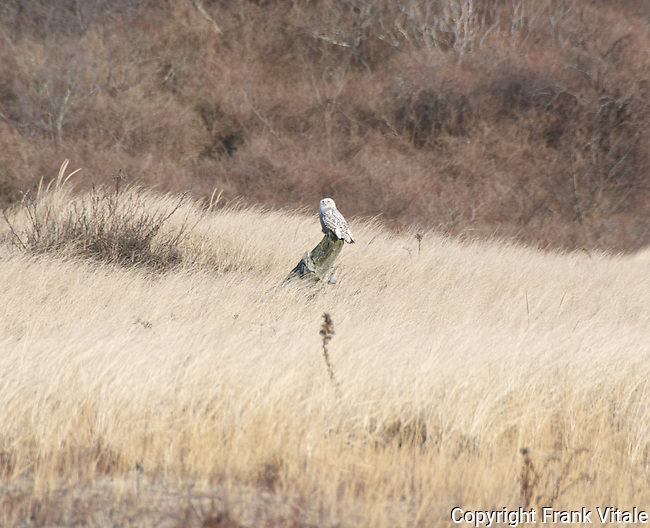 Snowy Owl at Sandy Point State Reservation, Plum Island