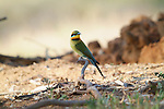 Rainbow Bee Eater - Australian Native Bird