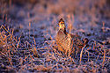 00500-005.10 Greater Prairie Chicken male lit by low sun pauses in typical habitat.