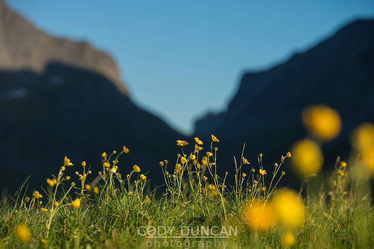 Yellow wildflowers in summer at Horseid beach, Moskenesøy, Lofoten Islands, Norway