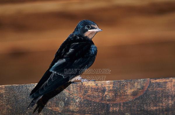 Barn Swallow, Hirundo rustica, newly fledged young in Barn, Oberaegeri, Switzerland, July 1997