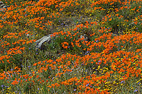 Wildflowers--mostly California poppies, lacy phacelia and goldfields--cover hills and draws near the Antelope Valley California Poppy Reserve.  March.
