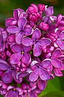 Garten-Flieder, Flieder, Gemeiner Flieder, Syringa vulgaris, Common Lilac, French Lilac, Le lilas commun, lilas français