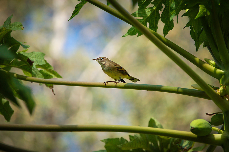 A beautifully lit palm warbler pauses on a papaya branch on a crisp, sunny winter day in Fort Myers, Florida. These tiny warblers can weigh up to .4 ounces, yet spend their summers in Canada as far north as the Arctic Circle, and travel all the way to the coastal Southeast every winter.
