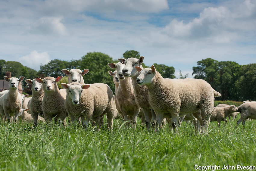 Aberfield x New Zealand ewes with Abermax lambs, Staffordshire.